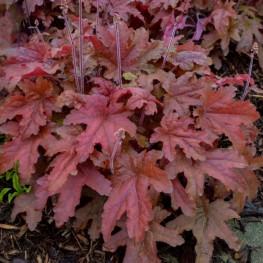 Heucherella Red Rover Żuraweczka