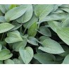 Hosta Fortunei Hyacinthina Funkia