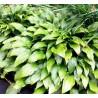 Hosta Fortunei Lancifolia Funkia
