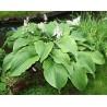 Hosta Green Acres Funkia