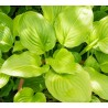 Hosta plantaginea Afrodite Funkia babkolistna