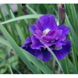 Iris sibirica Concord Crush