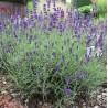 Lavandula angustifolia Dwarf Blue Lawenda wąskolistna