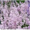 Lavandula angustifolia Rosea Lawenda wąskolistna
