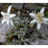 Leontopodium alpinum Szarotka alpejska