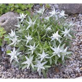Leontopodium May Snow Szarotka