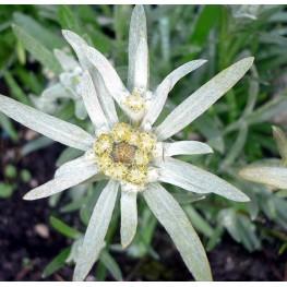 Leontopodium Star of Alps Szarotka