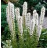 Liatris spicata Alba Liatra kłosowa