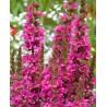 Lythrum salicaria Robert Krwawnica pospolita