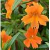 Mimulus hybrida Orange Kroplik ogrodowy