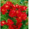 Mimulus hybrida Red Kroplik ogrodowy