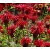 Monarda hybrida Cambridge Scarlet Pysznogłówka ogrodowa