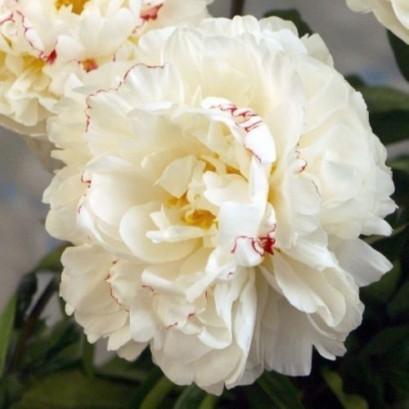 Paeonia lactiflora Boule de neige Piwonia chińska