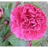 Paeonia lactiflora F. Koppius Piwonia chińska