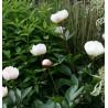 Paeonia lactiflora Immaculee Piwonia chińska