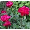 Paeonia lactiflora Karl Rosenfield Piwonia chińska