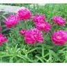 Paeonia lactiflora Louis van Houtte Piwonia chińska