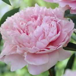 Paeonia lactiflora Sarah Bernhardt Piwonia chińska
