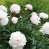 Paeonia lactiflora Shirley Temple Piwonia chińska