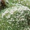 Paronychia Serphyllifolia Zanokcica macierzankolistna