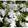 Phlox douglasii White Delight Floks douglasa