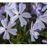 Phlox subulata G.F.Wilson Floks szydlasty