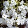 Phlox subulata Maischnee Floks szydlasty