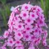 Phlox paniculata Miss Pepper Floks wiechowaty