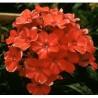 Phlox paniculata Orange perfektion Floks wiechowaty