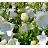 Platycodon grandiflorus Fuji White Rozwar wielkokwiatowy