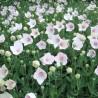 Platycodon grandiflorus Astra Rose -Rozwar wielkokwiatowy