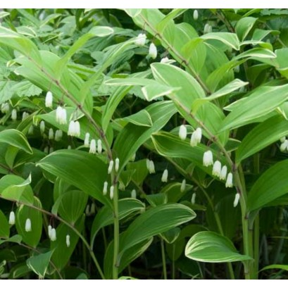 Polygonatum Odoratum Kokoryczka wonna