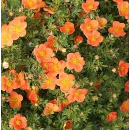 Potentilla Fruticosa Orangeade Pięciornik Krzewiasty