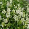 Prunella grandiflora Alba Głowienka wielkokwiatowa