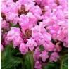 Prunella grandiflora Rosea Głowienka wielkokwiatowa