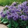 Prunella grandiflora Viola Głowienka wielkokwiatowa