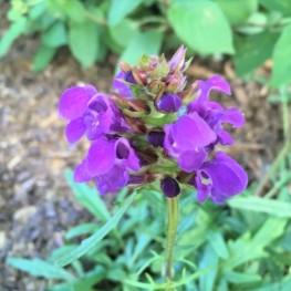 Prunella grandiflora Bella Violet Głowienka wielkokwiatowa Bella Violet