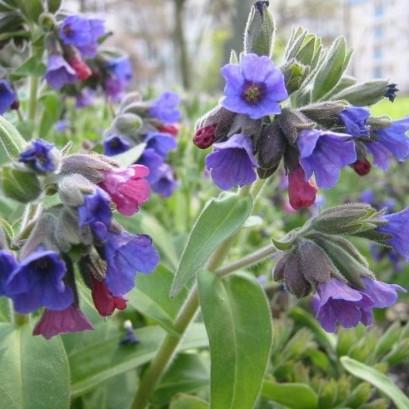 Pulmonaria angustifolia Blaues Meer Miodunka wąskolistna