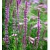 Salvia nemorosa Amethyst Szałwia wspaniała