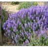 Salvia nemorosa Blauhugel Szałwia wspaniała