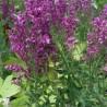 Salvia nemorosa Schwellenburg Szałwia wspaniała