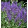 Salvia nemorosa Viola Close Szałwia wspaniała