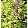Salvia officianlis - Szałwia lekarska