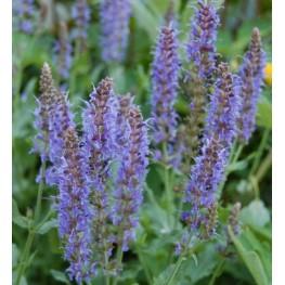 Salvia nemorosa Salute Deep Blue