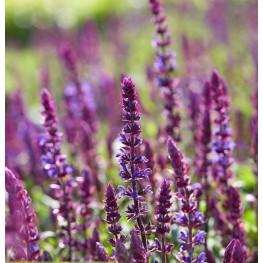Salvia nemorosa Salvatore Blue Szałwia wspaniała