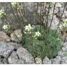 Saxifraga paniculata Minor Skalnica gronkowa