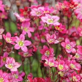 Saxifraga arendsii Carpet Pink Skalnica Arendsa
