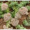 Sedum anacampseros Rozchodnik lubczykowy
