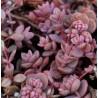 Sedum cyaneum Rosenteppich Rozchodnik niebieski
