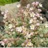 Sedum dasyphyllum Rozchodnik brodawkowaty